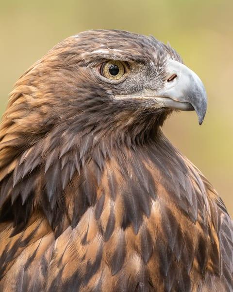 Golden Eagle  Photography Art | Matt Cuda Nature Photography