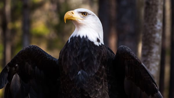 Eagle In American Pose Photography Art | Matt Cuda Nature Photography