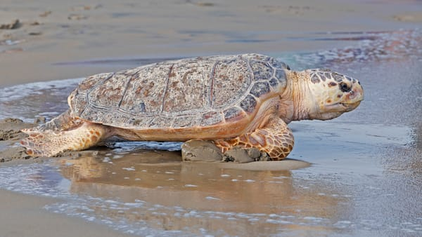 loggerhead, turtle, return,beach, atlantic ,ocean