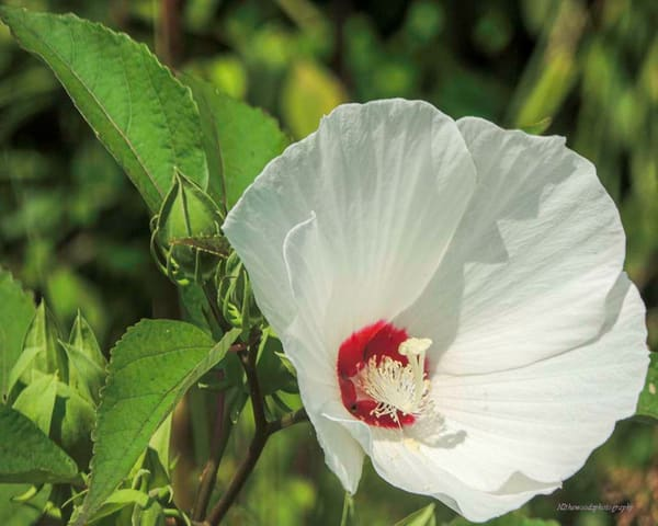 White Hardy Hibiscus Photography Art | N2 the Woods Photography - Nature and Wildlife Artwork