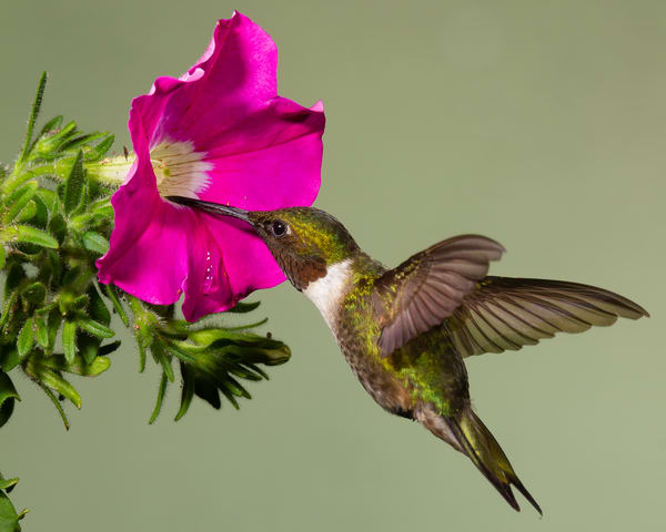 Ruby Throated Hummingbird Photography Art | Matt Cuda Nature Photography