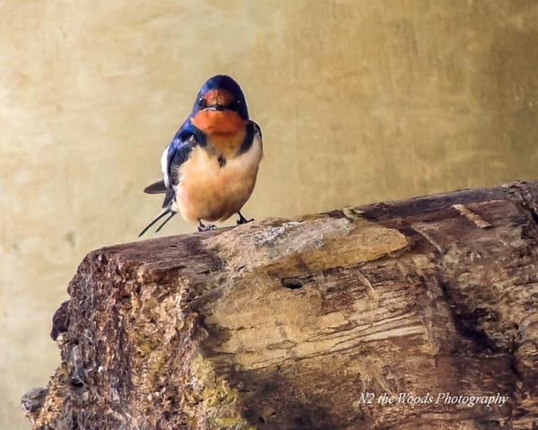 Eastern Bluebird Photography Art | N2 the Woods Photography
