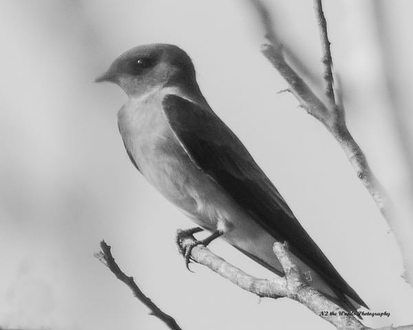 Barn Swallow Photography Art | N2 the Woods Photography - Nature and Wildlife Artwork