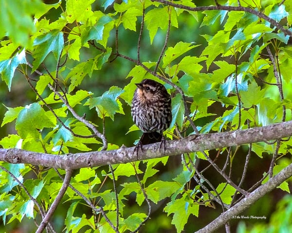 Red Crossbill Photography Art | N2 the Woods Photography - Nature and Wildlife Artwork