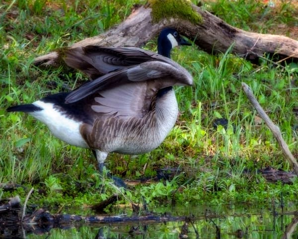 Canadian Goose Photography Art | N2 the Woods Photography