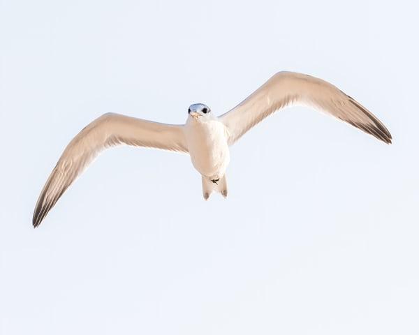 Juvenile Sandwhich Tern