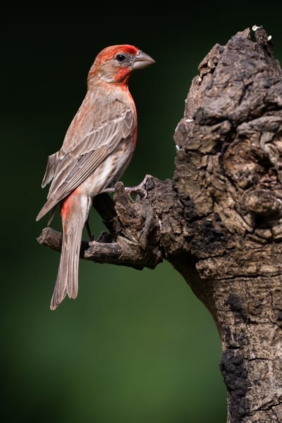 Male house finch perched on a tree stump