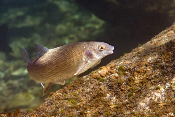 Mountain White Fish  # 4797 Photography Art | Mary Edwards Photography