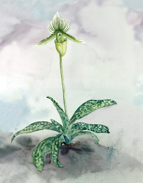 """Paphiopedilum """"Maudiae"""" Orchid, a watercolor by Donna D Turgeon"""