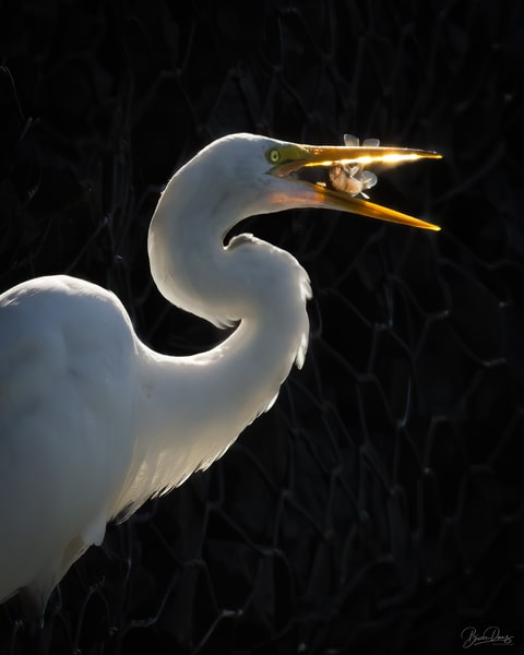 Great Egret Late Dinner, Close-up