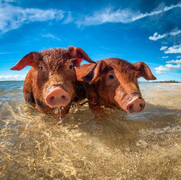Swimming Pigs Art