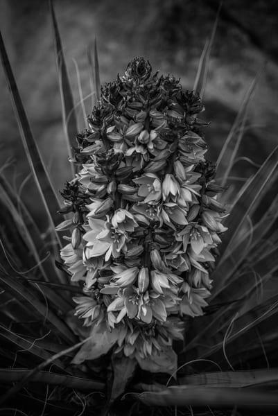 Yucca Flower  Joshua Tree Np Photography Art | Casey McFarland Photography