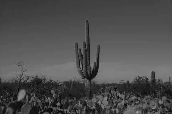 Lone Silver  Saguaro National Park Photography Art | Casey McFarland Photography