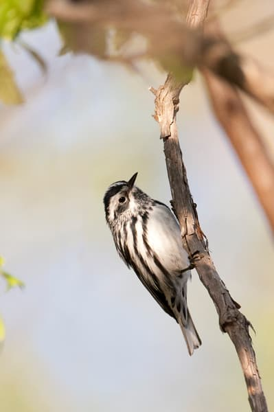 Black And White Warbler Photography Art | Deb Little Photography