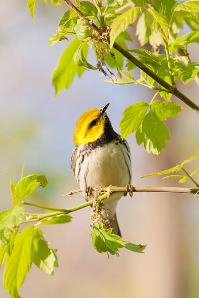Black Throated Green Warbler 2 Photography Art | Deb Little Photography