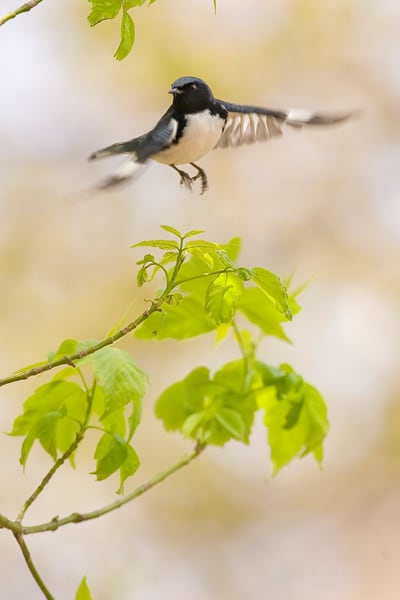 Black Throated Blue Warbler 2 Photography Art | Deb Little Photography