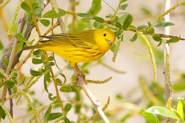 Yellow Warbler 6 Photography Art | Deb Little Photography