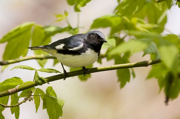 Black Throated Blue Warbler 3 Photography Art | Deb Little Photography
