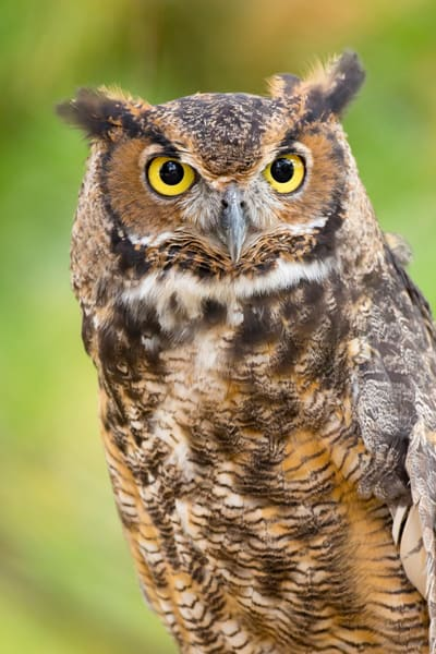 Great Horned Owl 1  Photography Art | Deb Little Photography