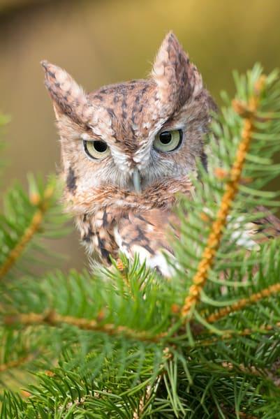 Eastern Screech Owl 1 Photography Art | Deb Little Photography