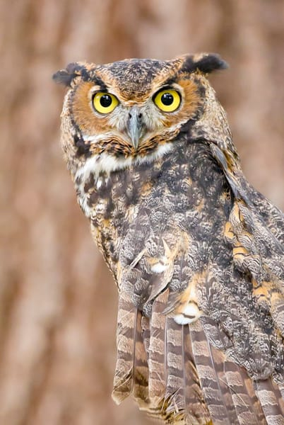 Great Horned Owl 2 Photography Art | Deb Little Photography