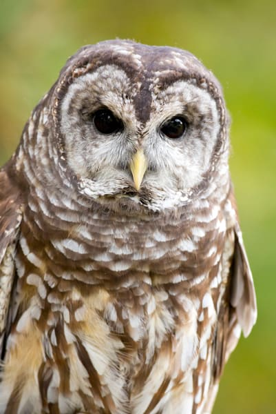 Barred Owl 1 Photography Art | Deb Little Photography