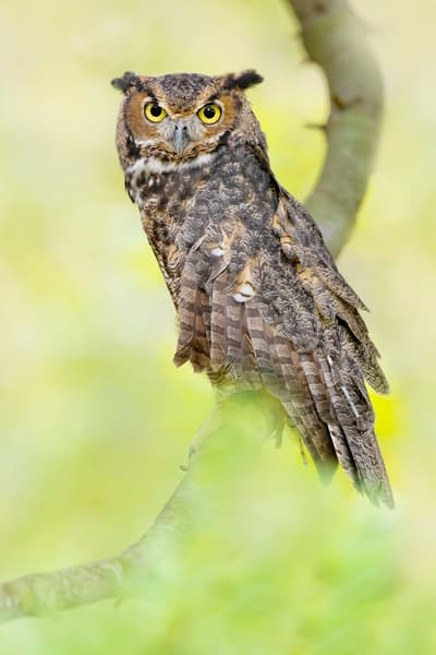 Great Horned Owl 3 Photography Art | Deb Little Photography