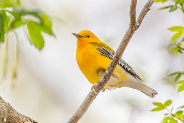 Prothonotary Warbler 1 Photography Art | Deb Little Photography