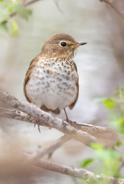 Swainsons Thrush 1 Photography Art | Deb Little Photography
