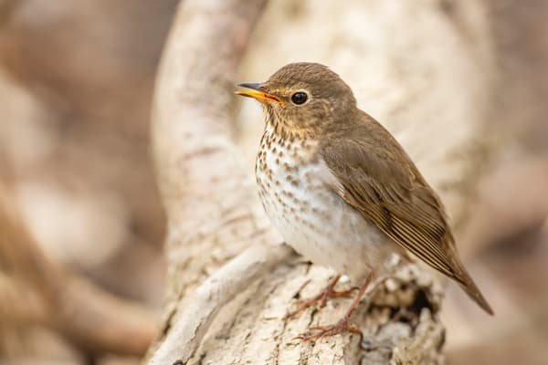 Swainsons Thrush 2 Photography Art | Deb Little Photography