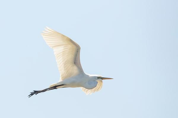 Great Egret 1 Photography Art | Deb Little Photography