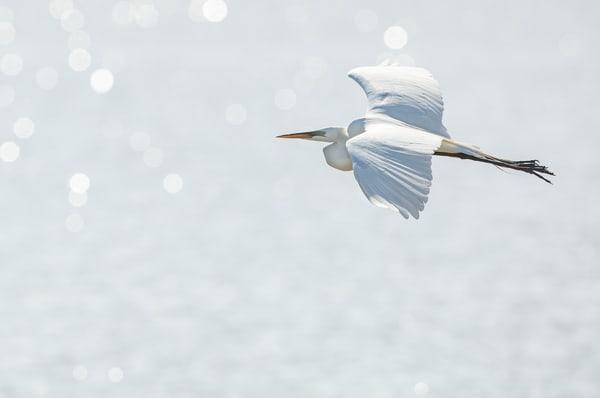 Great Egret 2 Photography Art | Deb Little Photography