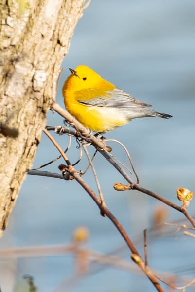 Prothonotary Warbler 5 Photography Art | Deb Little Photography