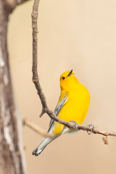 Prothonotary Warbler 3 Photography Art | Deb Little Photography