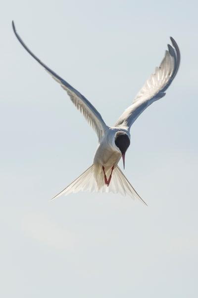 Common Tern 1 Photography Art | Deb Little Photography