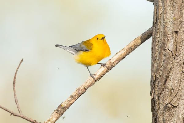 Prothonotary Warbler 7 Photography Art | Deb Little Photography