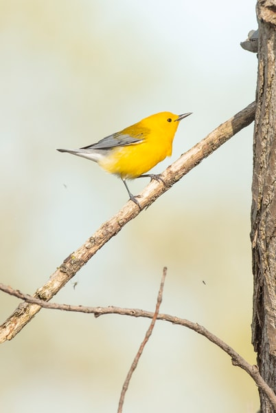 Prothonotary Warbler 6 Photography Art | Deb Little Photography