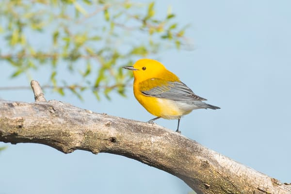 Prothonotary Warbler 4 Photography Art | Deb Little Photography