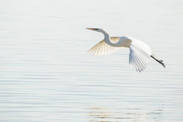 Great Egret 3 Photography Art | Deb Little Photography