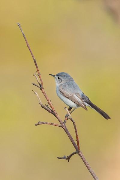 Blue Gray Gnatcatcher 1 Photography Art | Deb Little Photography