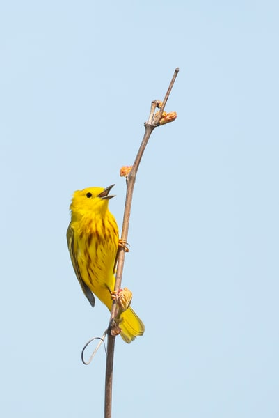 Yellow Warbler 7 Photography Art | Deb Little Photography
