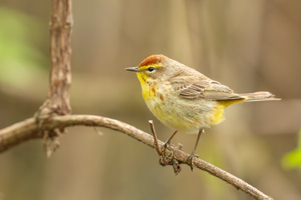 Palm Warbler 4 Photography Art | Deb Little Photography