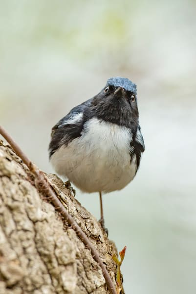 Black Throated Blue Warbler 1  Photography Art | Deb Little Photography