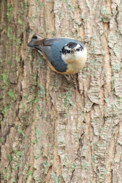 Red Breasted Nuthatch 1 Photography Art | Deb Little Photography