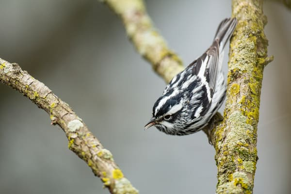 Black And White Warbler 2 Photography Art | Deb Little Photography