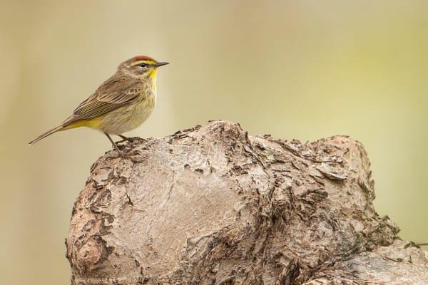 Palm Warbler 5 Photography Art | Deb Little Photography