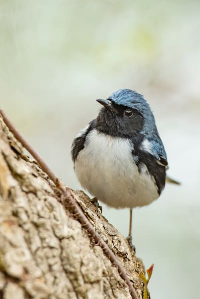 Black Throated Blue Warbler 4 Photography Art | Deb Little Photography