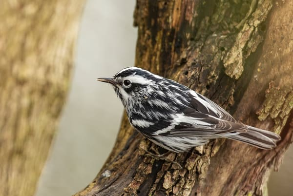 Black And White Warbler 3 Photography Art | Deb Little Photography