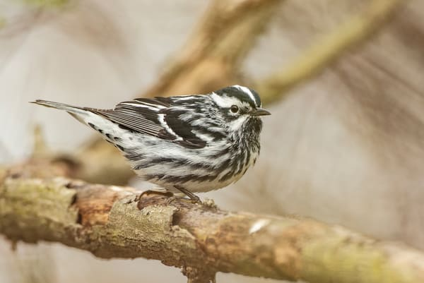 Black And White Warbler 4 Photography Art | Deb Little Photography