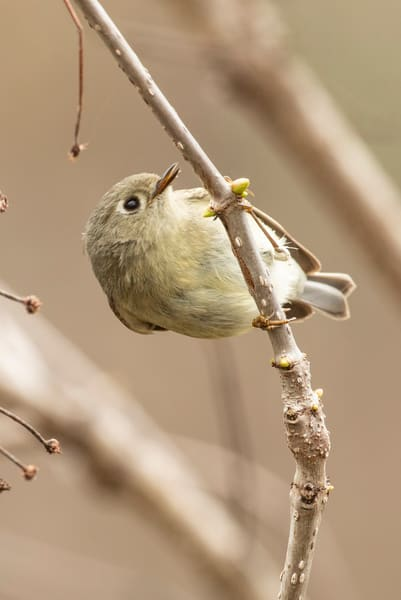 Ruby Crowned Kinglet 2 Photography Art | Deb Little Photography